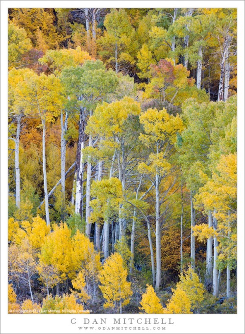 Tall Autumn Aspen Trees
