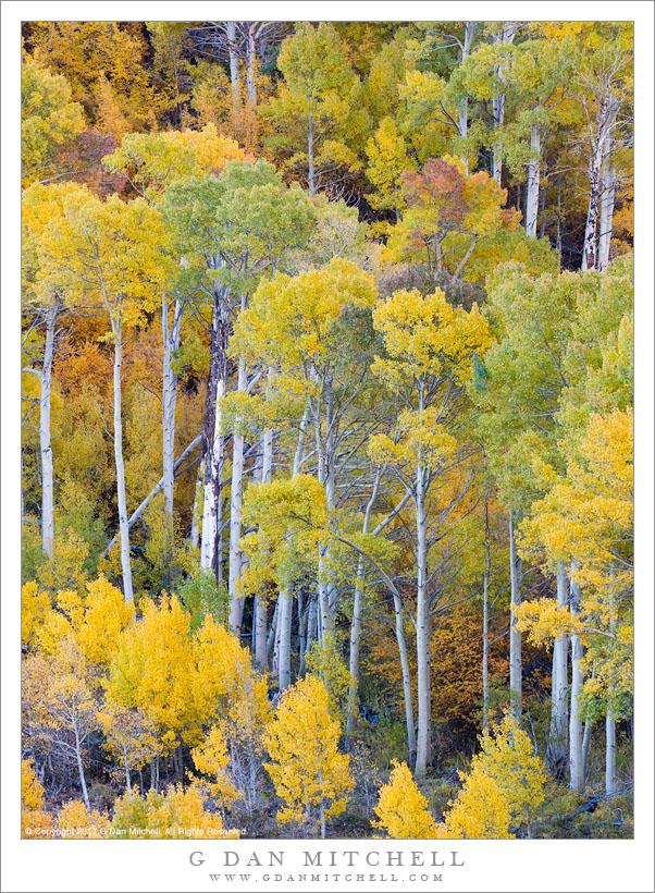 Tall Autumn Aspen Trees